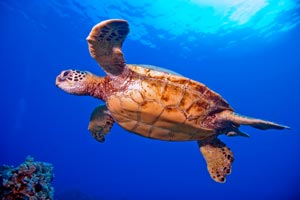 Picture of a green sea turtle of the coast of Maui.